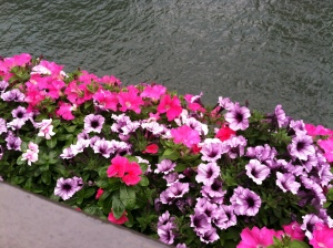 Petunias on the Chicago River yesterday. A  peaceful scene to keep you calm if you identify with this story!